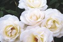 •●• White Roses •●•