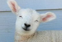 Sheepish / Little sheep, lambs, lambys <3