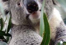 il pigro koala