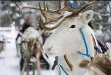 Reindeer Republic: Secret of the Antler / Reindeer is a semi-wild animal living in the northernmost parts of Finland. There are more reindeer than people hanging around here in Lapland!