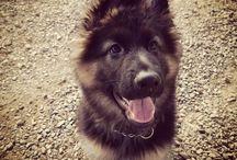 My dog Hector / Hector is a purebred germanshepherd long coat