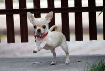 Chihuahuas my love