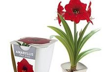 Amaryllis Gifts / amaryllis. no water flowers. touch of wax. waxz snow. vintage jute bag. beautiful. unique. gift