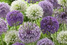 Allium Love / allium, beautiful, flower bulbs