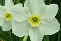 Daf's <3 / daffodils, Narcissus, lovely, flower bulbs