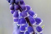 Muscari aka Grape Hyacinth / Muscari, unique, flower bulbs