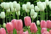 Tulipa <3 / Tulip, beautiful, flower bulbs