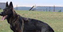 Pet / DDR/East German Shepherd - Czech  Shepherd