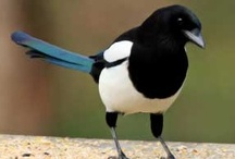 Magpies for project inspiration