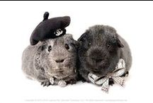 Guinea Pig Fashion Collection / Guinea pig fashion show: hats, bow ties, accessories… all for smiles! #guineapigs
