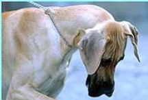 """Best Friend / Every thing about Great Danes, dedicated to my best friend a big, soft , huggable fawn Dane called """"Tinkerbell"""""""