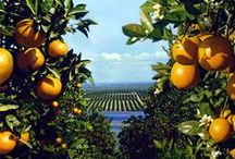 Orange Groves / The orange blossoms will intoxicate you with their sweet aroma.
