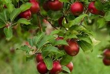 Apple Orchard / All about APPLES! / by Willow ~