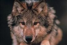 wolves / Man is not man, but a wolf to those he does not know.