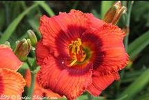 Daylilies ~ My Summer Love / by Willow