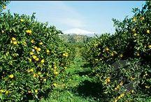 Lemon Groves / Lemons, Lemons and even More Lemons! / by Willow ~