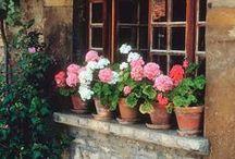 Geraniums/pelargonias