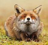 Me_L'anno della Volpe / Per tre cose la volpe va fiera: orecchio che sente la talpa sottoterra, coda che non ha pari e furbizia che inganna ogni animale.