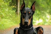 Dobermans my ❤ of / I DO NOT CONDONE ANIMAL BREEDING !!!!!! Animal breeding is not done out of love but out of greed. There are plenty of pure bred or mixed breeds sitting in animal shelters waiting to go to their forever home. Please ADOPT !!! Doberman Pinscher, Dobie, Dobermans, dogs / by †☠Mystical Enchantments☠†
