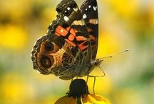 Butterflies,Moths,Dragonflies and Insects /  Butterflies, Moths, Dragonflies and Insects