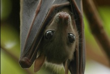 Creature's of the Night ❧ / bats, flying bats / by †☠Mystical Enchantments☠†