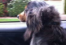 Dachshunds / Long, awesome dogs