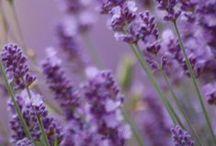 lavender & lawenda