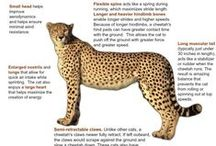 Education / Help educate others about cheetahs and their plight
