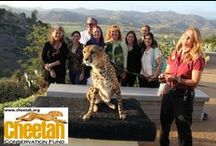 Chapter events / Cheetah Conservation Fund- Southern California Chapter events  So. Cal Chapter http://ccfsandiego.weebly.com/  Cheetah Conservation Fund  www.cheetah.org