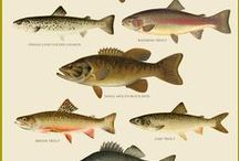 TROUT / personal hobby