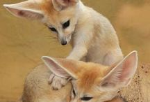 Fennec Fox❤️ and other foxes