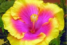 Hibiscus, Tropical and Hardy / by Troy Brumfield