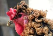 Classy Chickens