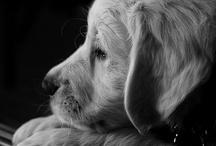 Animals - Golden Retrievers ❤