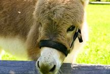 Donkey / Donkeys can live for over 50 years and originate from deserts.