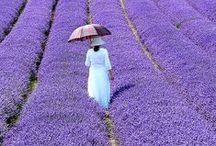 violet and lavender