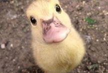 Because Hattie loves ducks