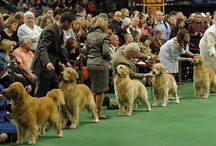 Conformation Dog Shows