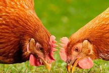 Thema: 'Met de kippen op stok'.