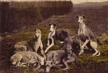 Greyhounds & Galgos  / From others ... Beautiful images