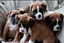 Boxer Puppies! / A collection of cute and adorable #Boxer puppies.