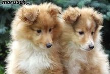 Picture-Purrfect Friends / No, of course I don't absolutely LOVE shelties!