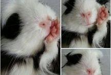 •GUINNEA PIG• / Little miniature pigs, whats not to love?!