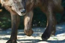 Loup / des loups, toute sorte de loup