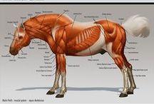 Animal_Anatomy