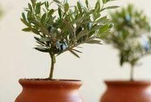 Olives & Olive Oil / Olive oil benefits, general info and recipes.