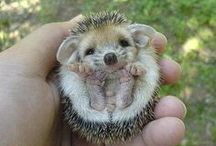 So Hedgehogs :) / by Hailey Langmeyer