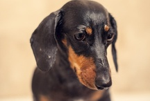 Loved My Doxie / by Debera Earl