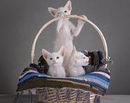 Кошки ОРИЕНТАЛЫ. Ориентальная порода кошек - выбирай и покупай себе ориентала! / Купить ориентального котёнка можно в питомнике MASCOT! Кошки ОРИЕНТАЛЫ. Ориентальная порода кошек - выбирай и покупай себе ориентала!