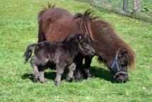 pony's en paarden